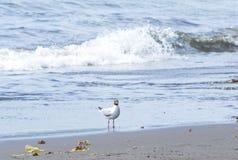 The sea seagull walks on coast of Pacific ocean Stock Photos