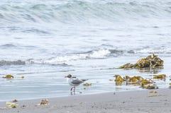 The sea seagull walks on coast of Pacific ocean Stock Photography