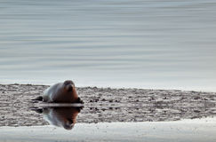 Sea Seal. A lonely seal with its reflection on water stock images
