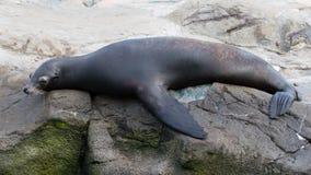 Sea seal Stock Photos