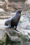 Sea seal Royalty Free Stock Photo