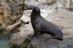 Sea seal Royalty Free Stock Photo