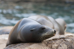 Sea seal Royalty Free Stock Images