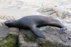 Sea seal Stock Photo