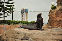 Sea seal Royalty Free Stock Photos