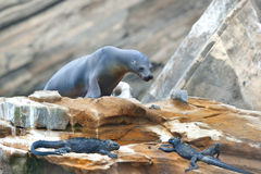 Sea seal and iguanas Stock Photos