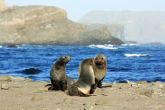 Sea seals Stock Images