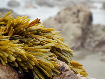 Sea seaweed Stock Photo