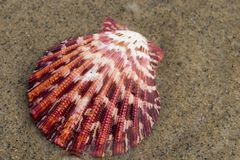 Sea shell. Colorful seashell on beach, sand background Royalty Free Stock Photo
