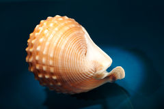 Sea shell. Against blue background Royalty Free Stock Photo