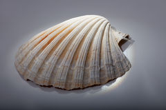 Sea shell. Close up against grey background Stock Images