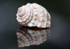 Sea Shell Stock Photos