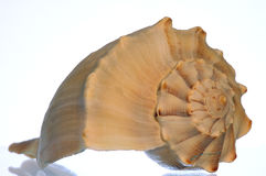 Sea Shell. Isolated on white background Stock Photography