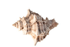 Sea Shell Royalty Free Stock Photography