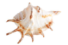 Sea shell. Isolated over white. Shallow depth of field Stock Images