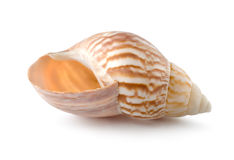 Sea shell. Colorful sea shell isolated on a white background stock images