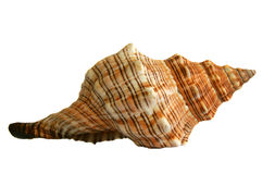 Sea shell. Isolated on the white background Royalty Free Stock Images