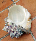 A sea shell Stock Photography