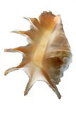 Sea shell. Greater, beautiful from the sea Royalty Free Stock Images