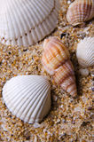 Sea shell. Different sea shells on sand Stock Image