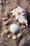 Sea shell. Different sea shells on sand Royalty Free Stock Photos