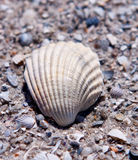 Sea shell. With sand as background Stock Photos