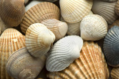 Sea shell 3 Royalty Free Stock Photo