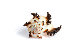 Sea shell. Isolated sea shell on white background royalty free stock images