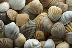 Sea shell 5 Stock Images