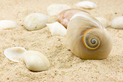 Sea shell. In the sand Stock Photography