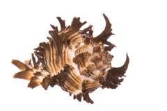 Sea Shell. Isolated macro image of a sea shell Royalty Free Stock Photography