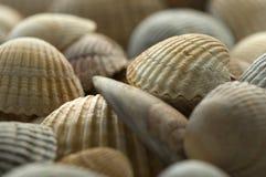 Sea shell 6. Close up of sea shells Stock Image
