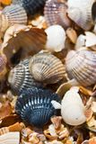 Sea shell Royalty Free Stock Photos