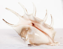 Sea shell. A litle sea shell Royalty Free Stock Images