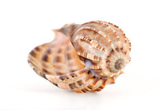 Sea shell. The cockle-shell is photographed close-up on the white Stock Images
