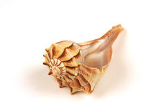 Sea Shell. Spiral sea shell on a white background Stock Photo