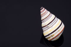 Sea shell. On black background Stock Images