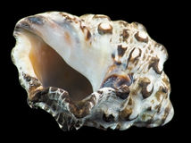 Sea-shell of the Aqaba gulf Royalty Free Stock Image