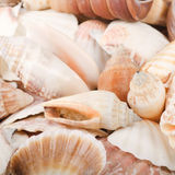 Sea shell as a background Stock Image