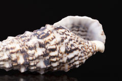 Sea shell of auger snail isolated on black background Royalty Free Stock Photo