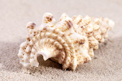 Sea shell of auger snail lying on the sand, close up Stock Photo