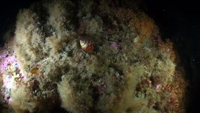 Sea shell on the background of the sea landscape underwater in ocean of Alaska. stock footage