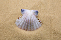Sea shell. On beach sand as a background Royalty Free Stock Photography