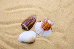 Sea shell. On beach sand as a background Stock Image