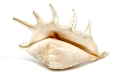 Sea shell. Beautiful sea shell close-up,  over white background Stock Photos