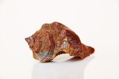 Sea shell, beautiful ocean life of Andaman, Thailand Royalty Free Stock Photo