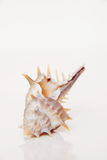 Sea shell, beautiful ocean life of Andaman, Thailand Stock Photography