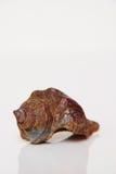 Sea shell, beautiful ocean life of Andaman, Thailand Stock Image