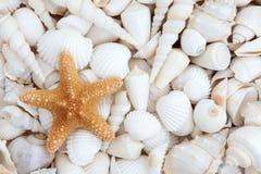 Sea Shell Beauty royalty free stock photography