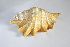 Sea shell. A big and detailed sea shell Royalty Free Stock Image